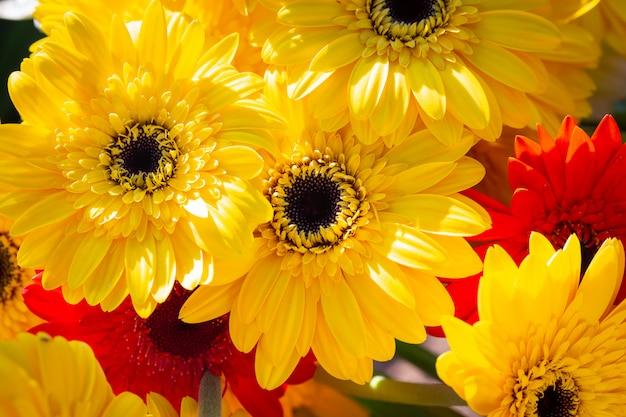 Bunter gelber gerbera-gänseblümchenhintergrund Premium Fotos