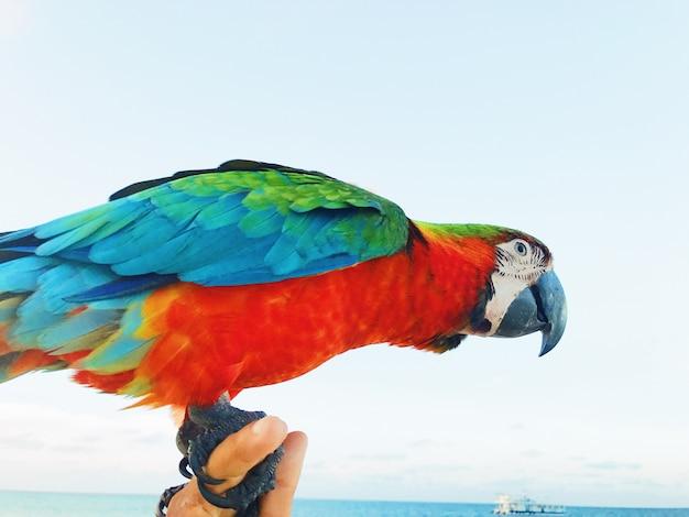 Bunter macaw sitzt auf dem arm des mannes Kostenlose Fotos