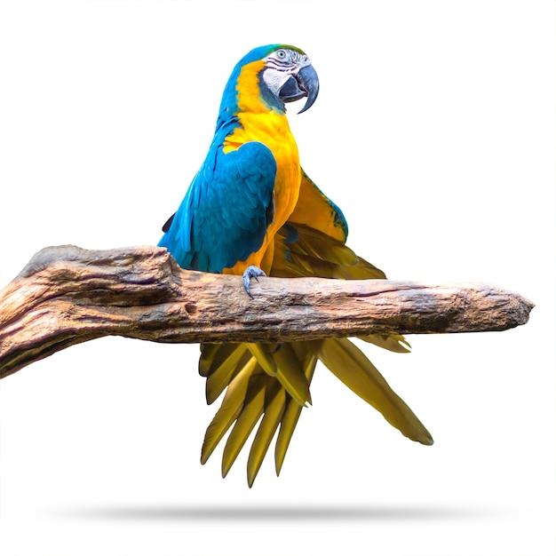 Bunter papageienvogel lokalisiert auf weißem hintergrund. blau und gold macaw auf den niederlassungen. Premium Fotos