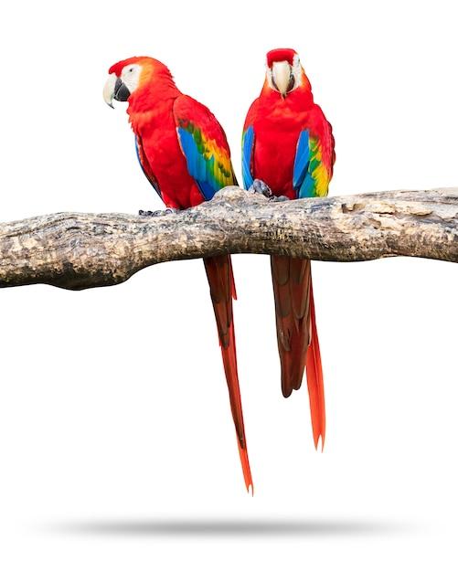 Bunter papageienvogel lokalisiert auf weißem hintergrund. roter und blauer macaw auf den niederlassungen. Premium Fotos