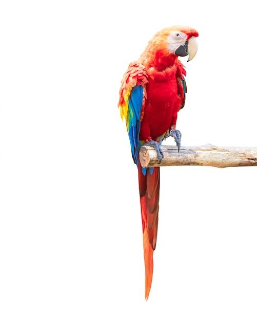 Bunter papageienvogel lokalisiert auf weißem hintergrund. roter und blauer marcaw auf den niederlassungen. Premium Fotos