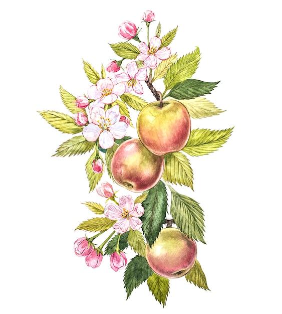 Buntes aquarell der apfelbaumaste mit früchten, blumen und blättern. botanische illustration des aquarells lokalisiert auf weiß. Premium Fotos