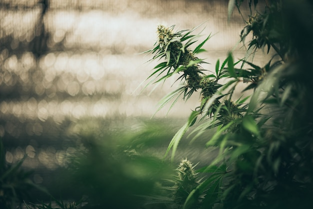 Bush blühender kräuterhanf mit samen und blüten. konzeptzucht von marihuana, cannabis, legalisierung. Premium Fotos