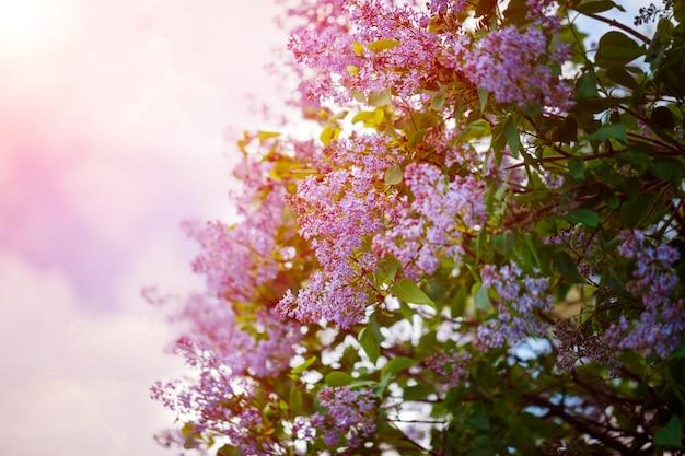 Bush von schönen purpurroten lila blumen mit den blättern Premium Fotos