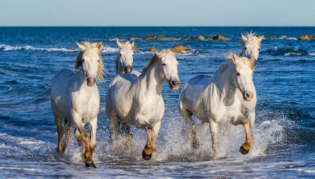 Camargue-pferde laufen wunderschön am wasser in der lagune entlang Premium Fotos