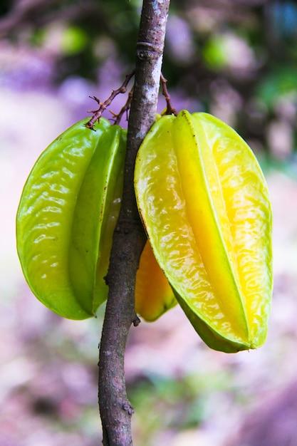 Carambolafrucht oder stern appple auf tropischem baum bei seyshelles Premium Fotos