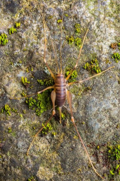 Cave cricket (dolichopoda linderi), eine im osten kataloniens endemische seltene art, lebt in feuchten höhlen und ernährt sich von fledermauskot, gemüseresten usw. Premium Fotos