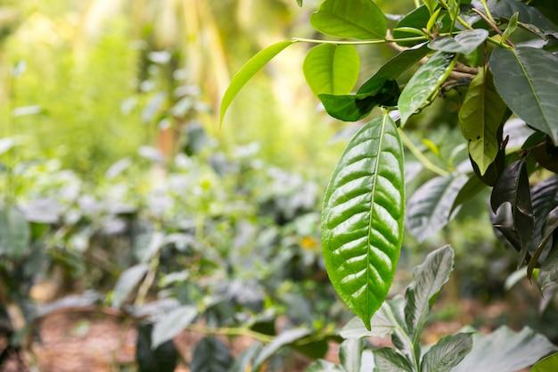 Ceylon tee grün blätter nahaufnahme ansicht, plantagen von sri lanka. felder ernten Premium Fotos