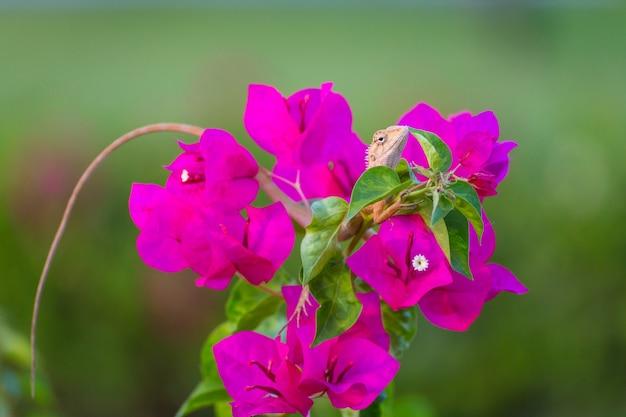 Chamäleon auf lila bougainvillea Premium Fotos