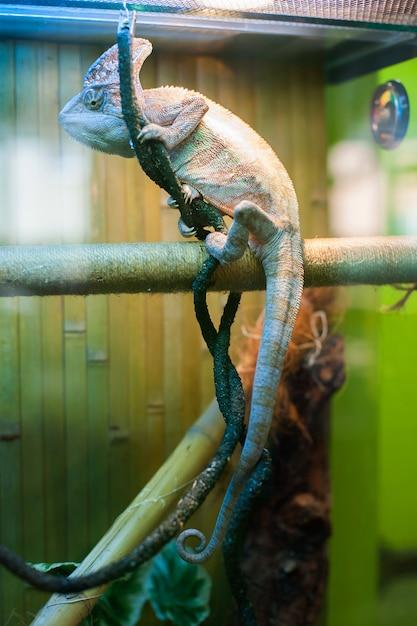Chamäleon im zoo Premium Fotos
