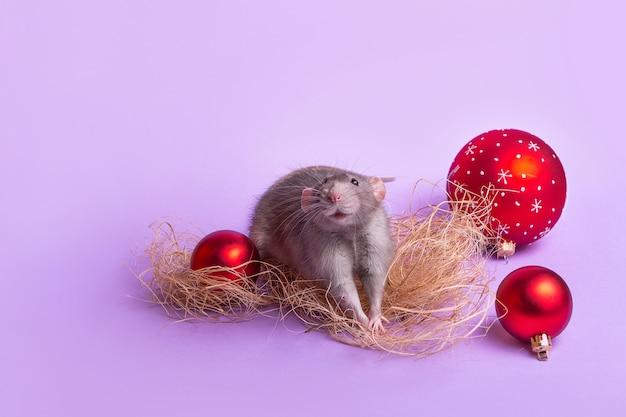 Charmantes haustier. dekorativer ratte dumbo auf lila wand. weihnachtsspielzeug. 2020 jahr der ratte. chinesisches neujahr. Premium Fotos