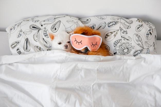 Chihuahas, die in einem bett schlafen Premium Fotos