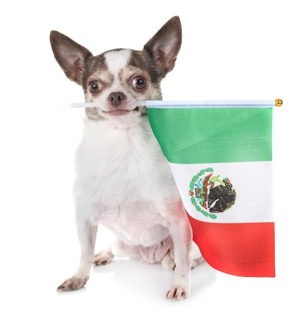 Chihuahua im studio Premium Fotos