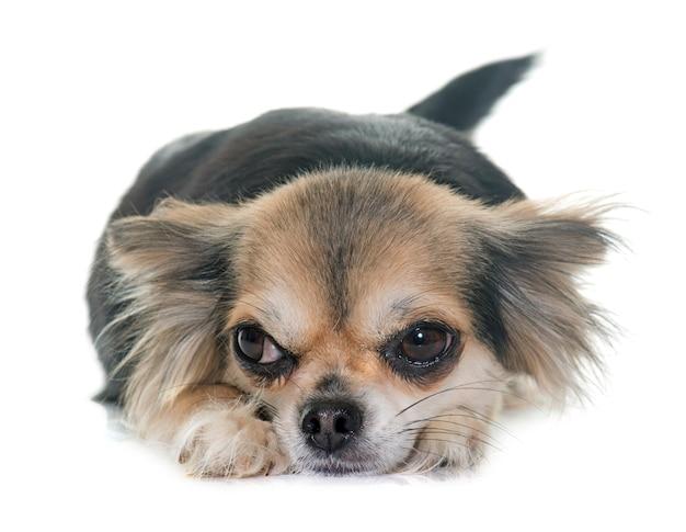 Chihuahua Premium Fotos