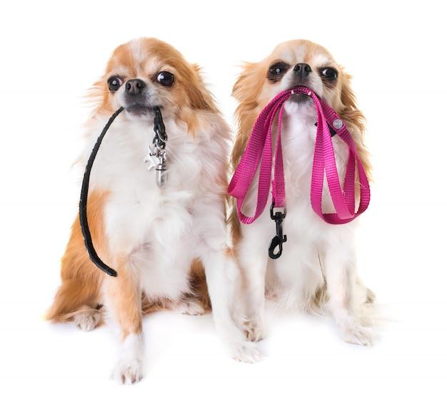 Chihuahuas und leine Premium Fotos