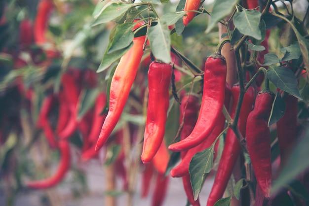 Chili in der handlung drückte frei von chemikalien. Premium Fotos