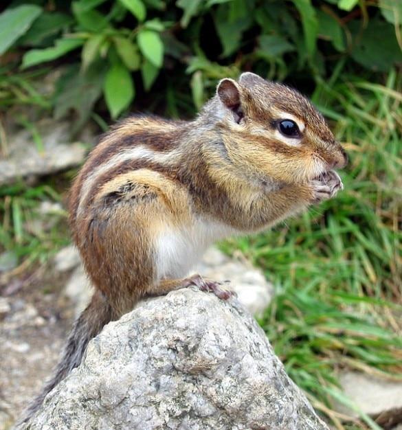 chipmunk croissant sciuridae eichhörnchen tamias familie