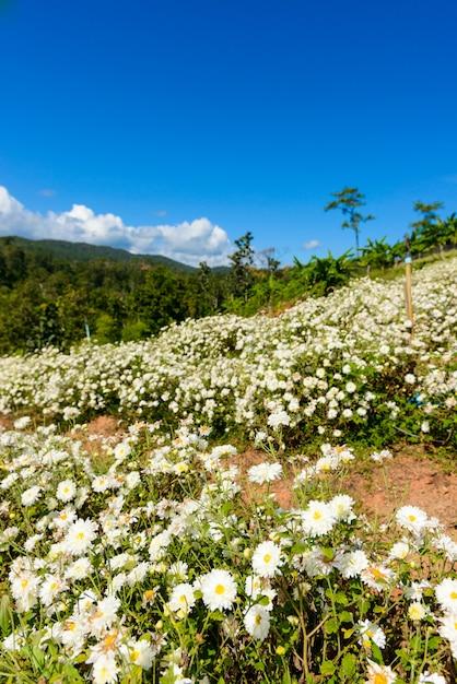 Chrysanthemenbearbeitung, zum des wassers mit chrysanthementee bei chiang mai, thailand zu produzieren. Premium Fotos