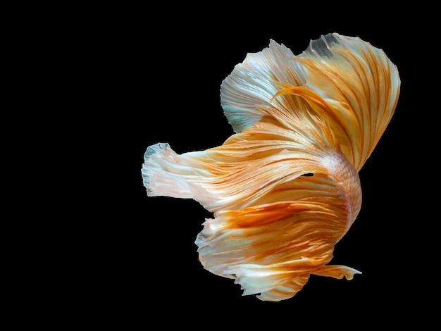 Close up art bewegung von betta fisch, siamesische kampffische. Premium Fotos