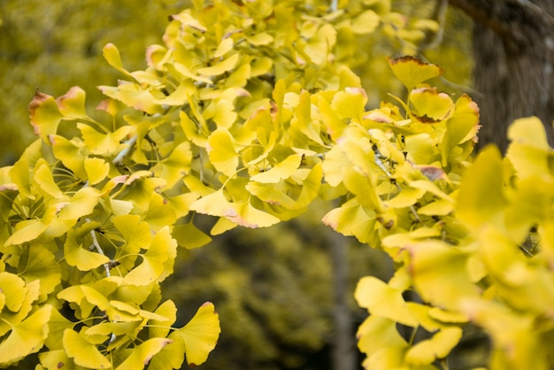 close up von gelben ginkgo biloba bl tter download der kostenlosen fotos. Black Bedroom Furniture Sets. Home Design Ideas