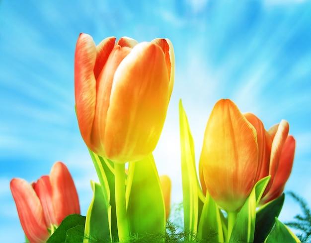 close up von tulpen an einem sonnigen tag download der kostenlosen fotos. Black Bedroom Furniture Sets. Home Design Ideas
