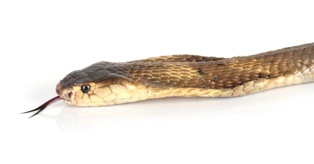 Cobra kopf und zunge Kostenlose Fotos