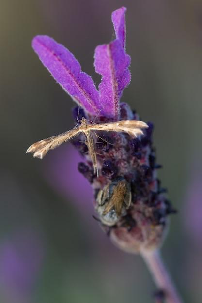 Coleophora alticolella ist eine motte aus der familie der coleophoridae Premium Fotos