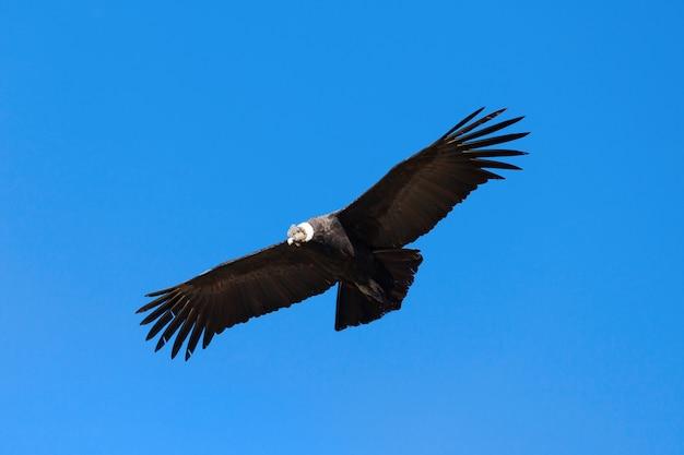 Condor flug Premium Fotos