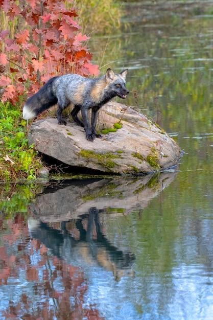 Cross fox im herbst mit reflexion im wasser Premium Fotos