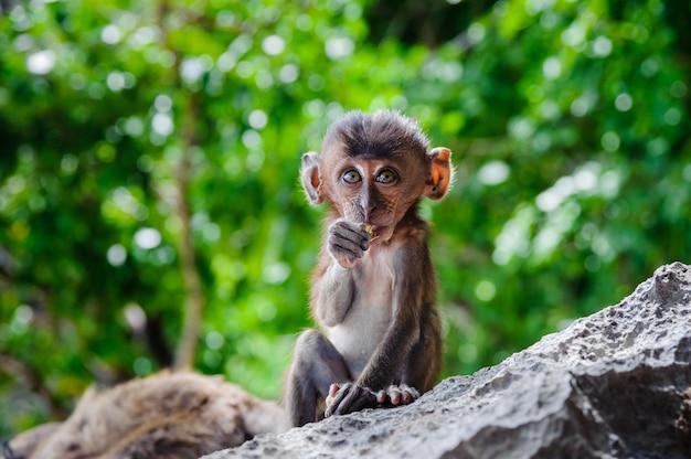 Cub macaca fascicularis sitzt auf einem felsen und isst. Premium Fotos