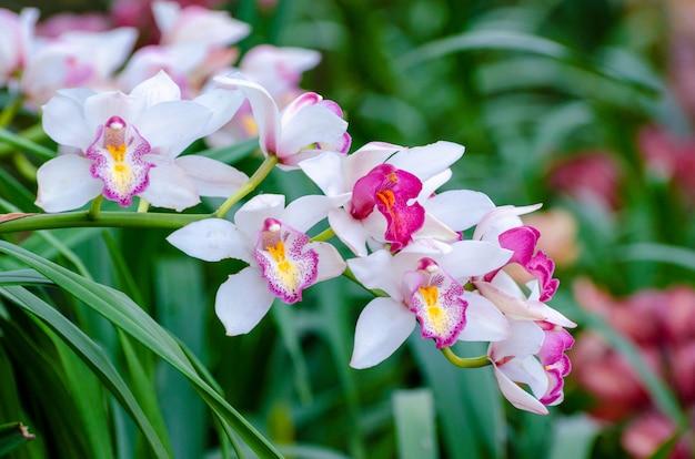 Cymbidium sp rosa und weiße orchideenblumen Premium Fotos