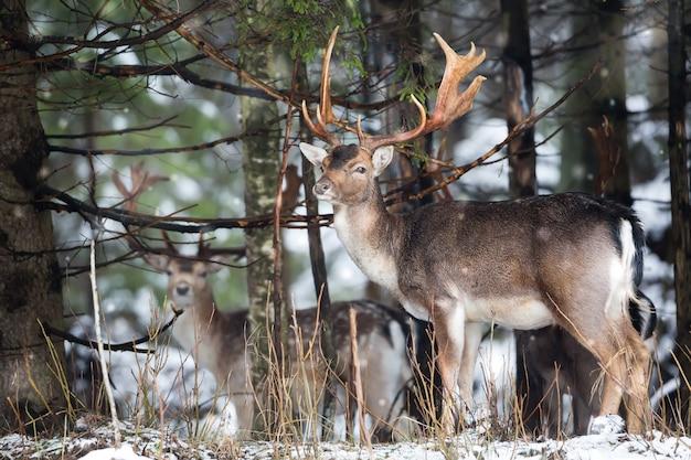 Damhirsch dama dama mit den großen geweihen, die kamera im winterwald hinter dem baum betrachten. Premium Fotos
