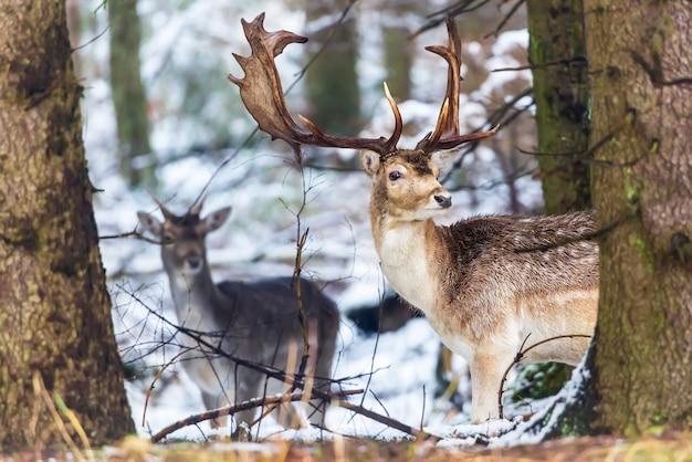 Damhirsch dama dama mit den großen geweihen, die kamera im winterwald hinter dem baum betrachten Premium Fotos