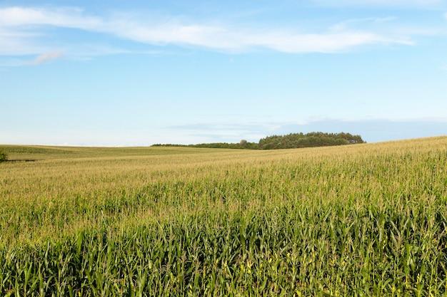 Das feld, auf dem grüner mais wächst. foto im sommer Premium Fotos
