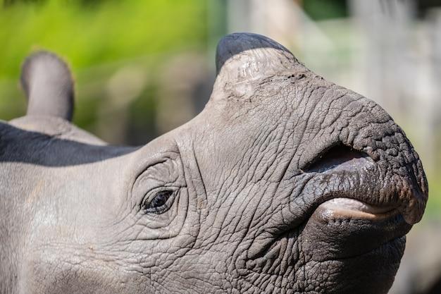 Das größere nashorn, das indische nashorn, ist die größte der nashornarten Premium Fotos