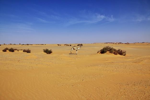 Das kamel in der sahara-wüste von sudan Premium Fotos