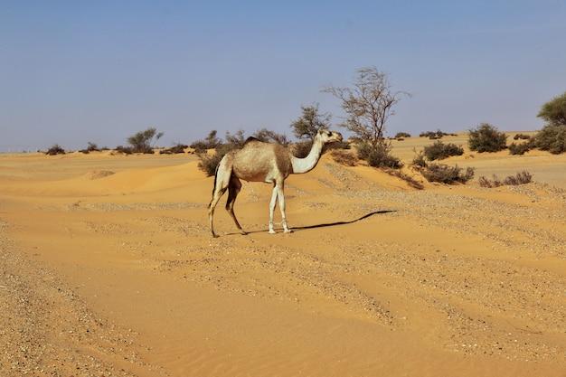 Das kamel in der sahara-wüste Premium Fotos