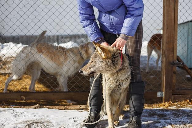 Das mädchen mit dem grauen wolf in der voliere mit hunden und wölfen Premium Fotos