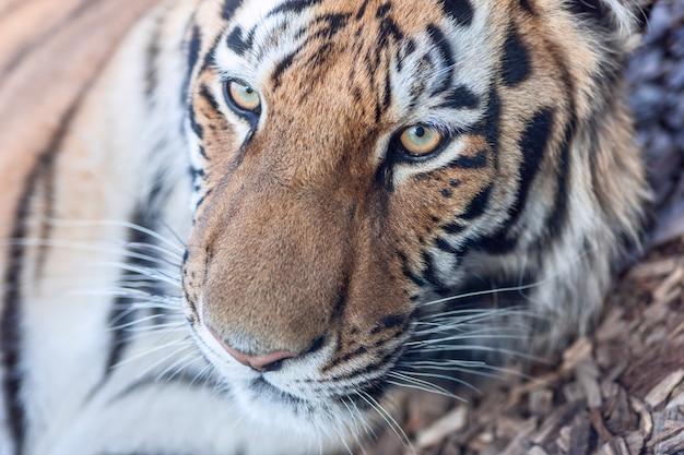 Das nahaufnahmeporträt eines tigerkopfes Kostenlose Fotos