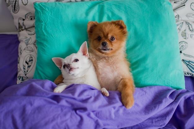 Das süße und liebenswerte paar umarmender pommerscher hündchen und chihuahua-hündchen liegt auf dem rücken auf einem kissen unter der decke, aus dem krallen herausragen, und mit lustigen gesichtern Premium Fotos