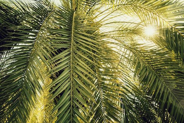 Dattelpalmeabschluß oben mit dem sonnenlicht gesehen durch die blätter. schöner naturbakground Premium Fotos