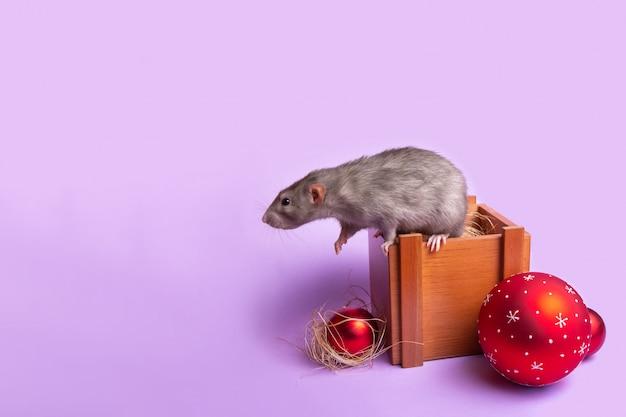 Dekorativer ratten-dumbo auf einer holzkiste auf einer lila wand Premium Fotos