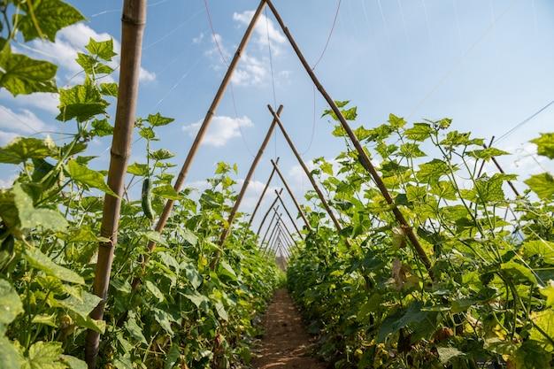 Der anbau von gurken im freiland in thailand. Premium Fotos