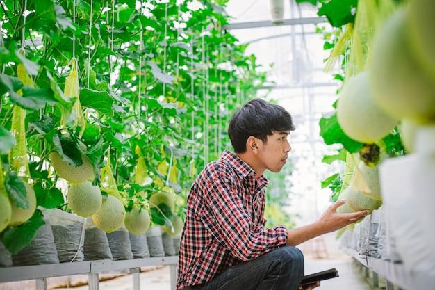 Der bauer überprüft die qualität der melone auf der melonenfarm in einem plastikhaus Premium Fotos