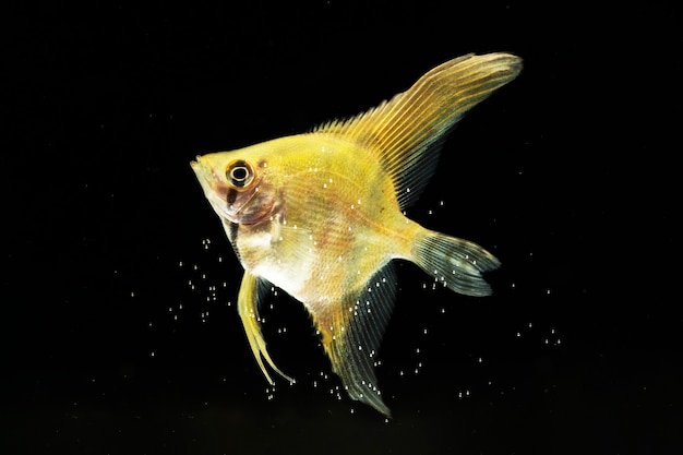 Der bewegende moment von gelben siamesischen betta fischen des halbmonds Kostenlose Fotos