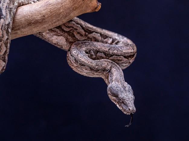 Der boa constrictor ist eine fischschlange, die eine erwachsenengröße von 2 metern (boa constrictor amarali) bis 4 metern (boa constrictor constrictor) erreichen kann. in brasilien, wo die zweitgrößte schlange ist Premium Fotos