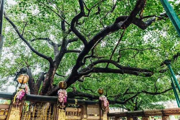 Der bodhi-baum nahe mahabodhi-tempel bei bodh gaya, bihar, indien. Premium Fotos