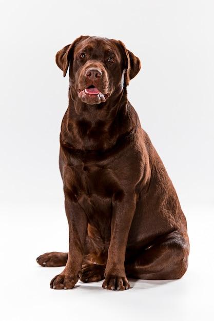 Der braune labrador retriever auf weiß Kostenlose Fotos
