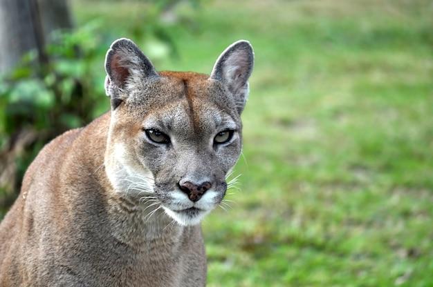 Der cougar | Premium-Foto