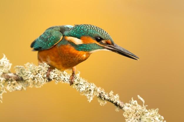 Der eisvogel in spanien Premium Fotos